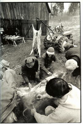 The hogs were killed and then into the scalding tank to loosen the hair, then the job of scraping the hair off the skin. Then the animals were gutted and cleaned. Before tractors, A frames were made and ropes or chains pulled the animals to a vertical position. Left of hog, Bill Litchfield with hat, Hayden Cunningham with cap and David Cunningham with sockcap, Tommy Litchfield without a cap.